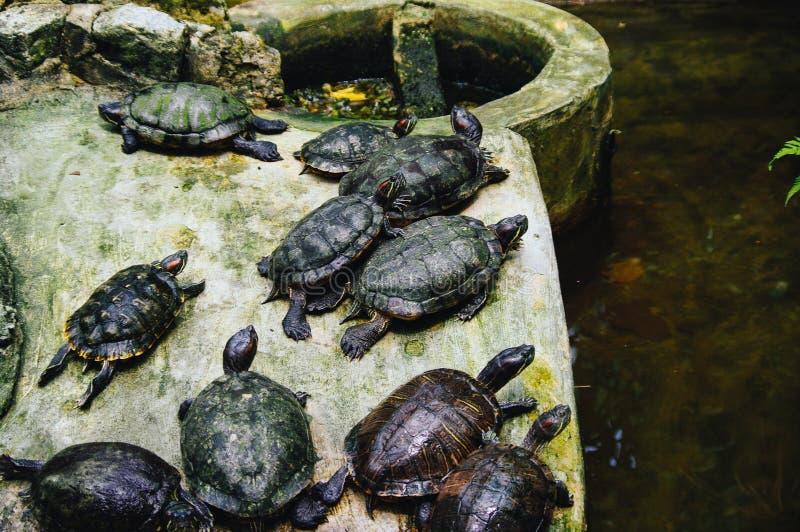 Beaucoup de petites tortues tropicales de l'eau dans la fin de jardin  photographie stock libre de droits
