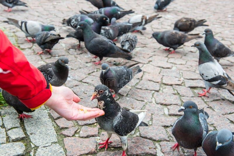 Beaucoup de pigeons alimentant d'une main photo stock