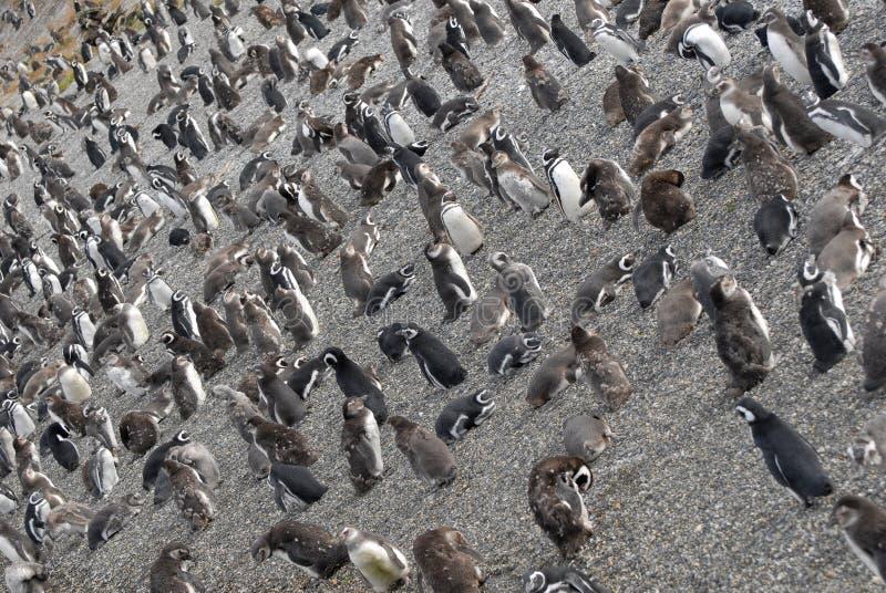Beaucoup de pingouins s'approchent d'Ushuaia. photo stock