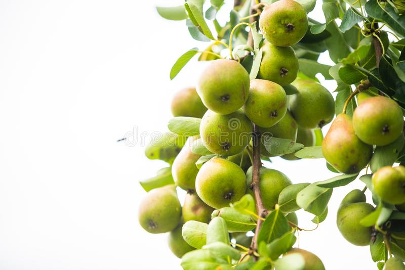 Beaucoup de poires sont bientôt mûres sur le poirier photographie stock libre de droits