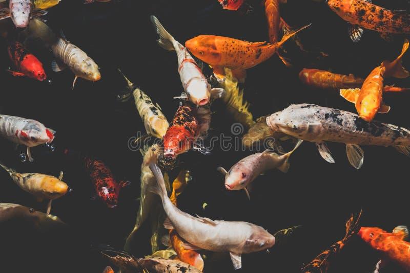 Beaucoup de poisson de koi, carpe japonaise de koi pêche image libre de droits