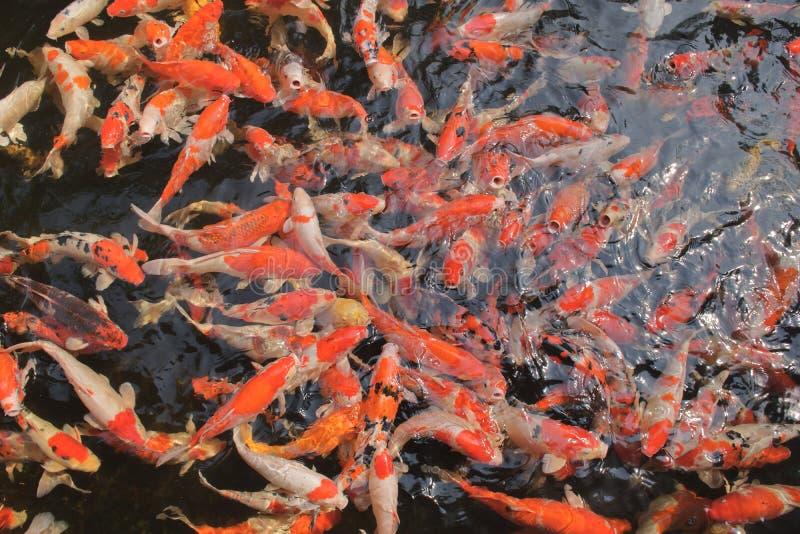 Beaucoup de poissons de carpe de fantaisie dans l'eau très propre et claire photos stock
