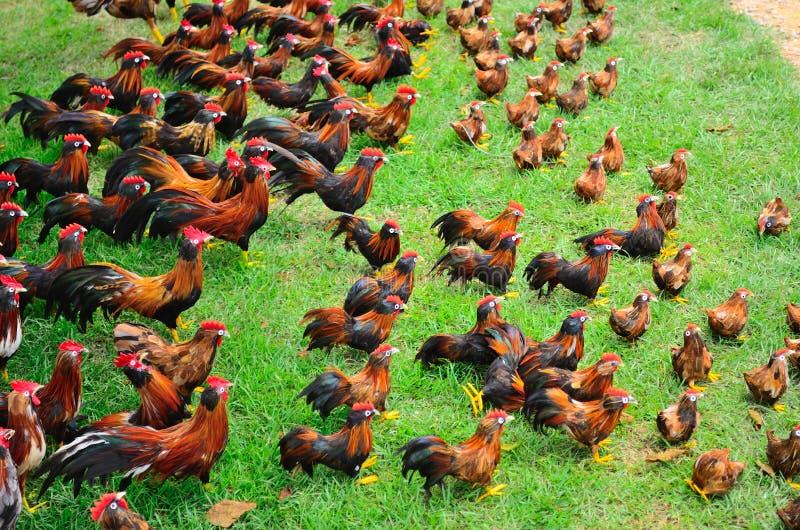 Beaucoup de poulets photographie stock libre de droits