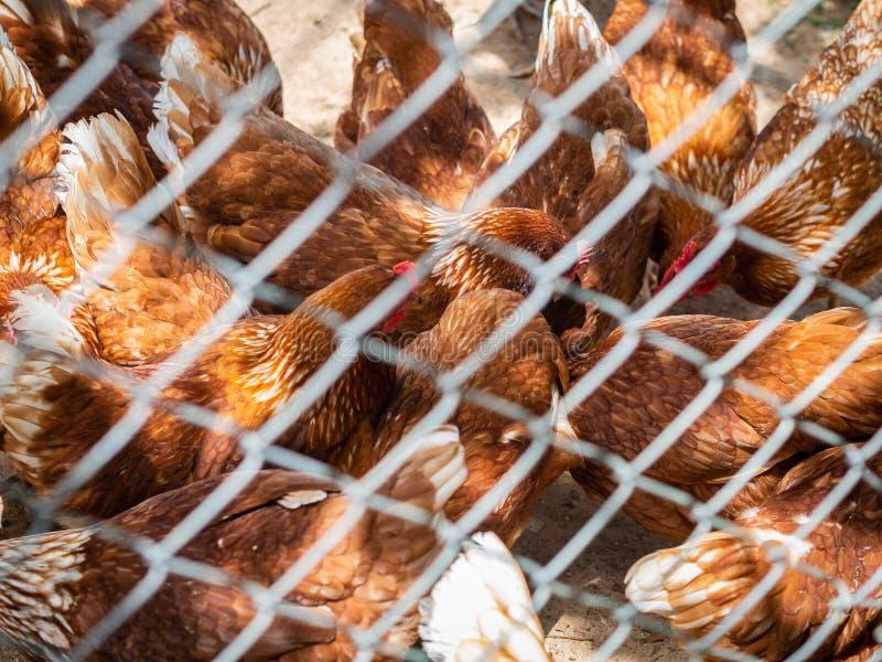Beaucoup de poulets dans la cage mangeant de la nourriture sur le plancher Agriculture et AG photo libre de droits
