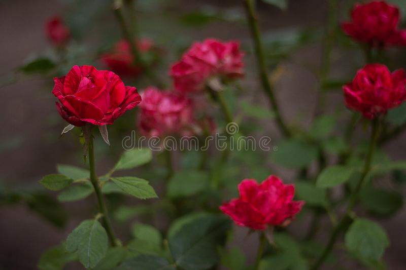 Beaucoup de roses rouges photo libre de droits