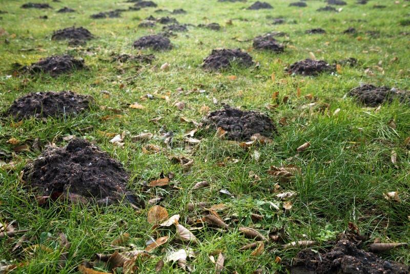 Beaucoup de taupinières et de vieilles feuilles dans l'herbe dans un pré, jardin c photo stock