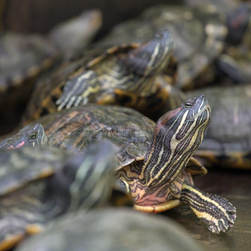 Beaucoup de tortues à oreilles rouges de glisseur image libre de droits