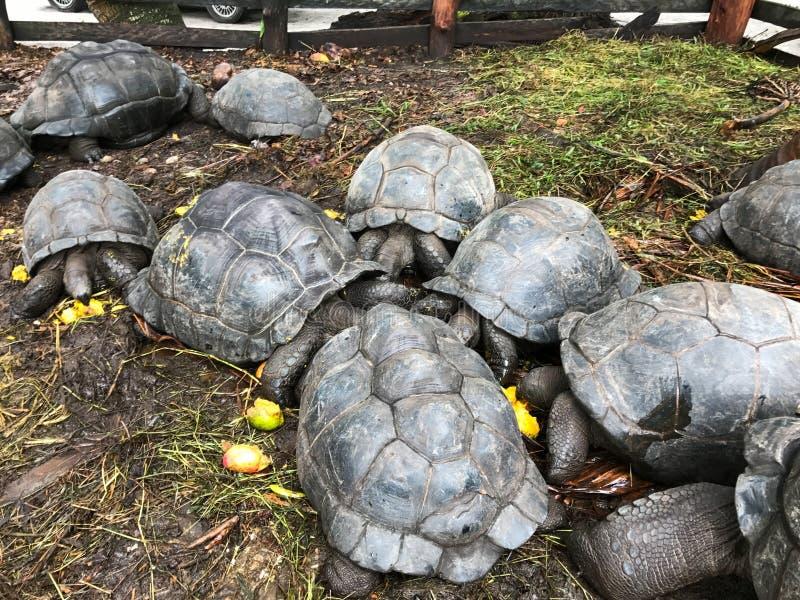 Beaucoup de tortues images stock