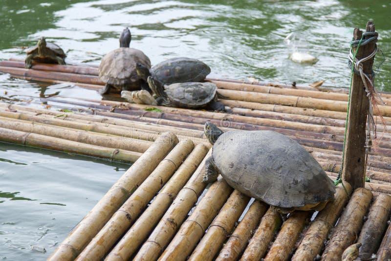 Beaucoup de tortues flottent sur des flotteurs image libre de droits