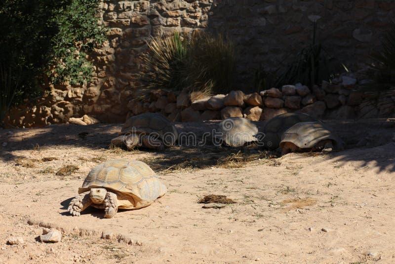 Beaucoup de tortues géantes se dorent au soleil image libre de droits
