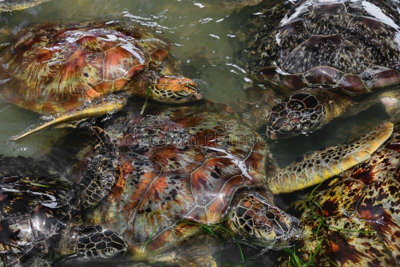 Beaucoup de tortues de mer nageant dans l'étang d'eau dans Bali, Indonésie photographie stock libre de droits