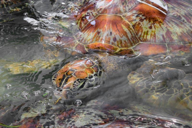 Beaucoup de tortues de mer nageant dans l'étang d'eau dans Bali, Indonésie photographie stock