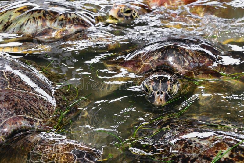 Beaucoup de tortues de mer nageant dans l'étang d'eau et mangeant l'herbe de mer dans Bali, Indonésie photo stock