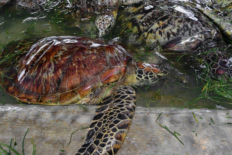 Beaucoup de tortues de mer nageant dans l'étang d'eau et mangeant l'herbe de mer dans Bali, Indonésie photos stock