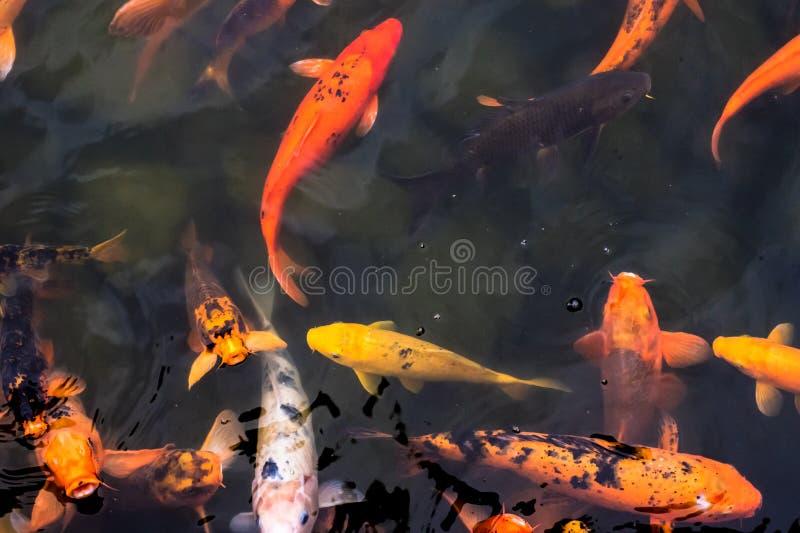 Beaucoup koi nageant ensemble photos libres de droits