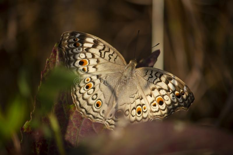 Beauiful Butterfly stock photography