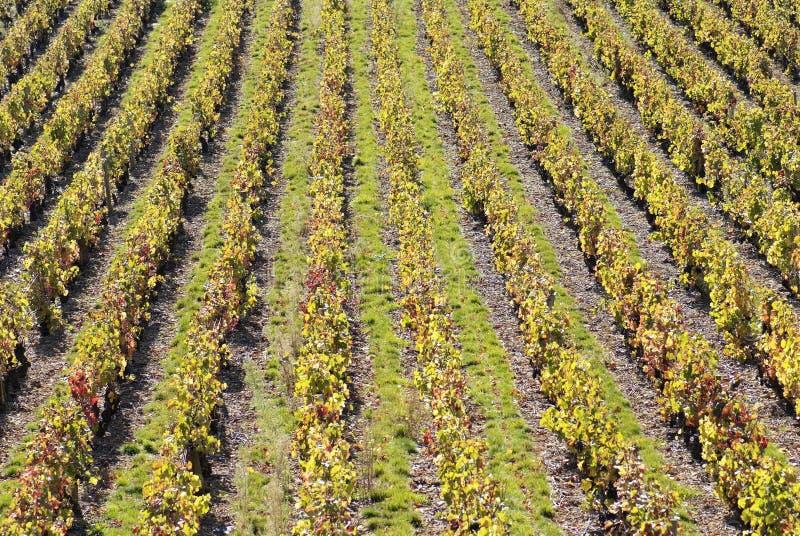 beaujolais winnice zdjęcie stock
