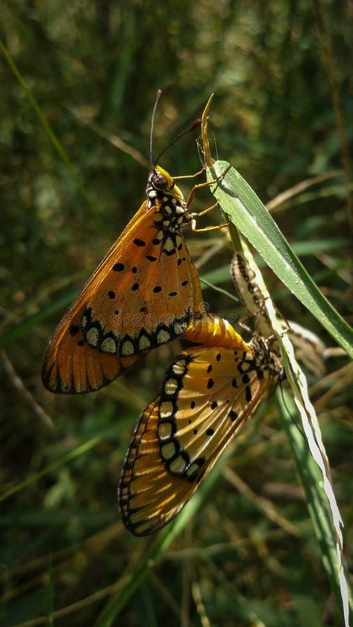 Beauté à ailes continuant le cycle de la vie photo stock