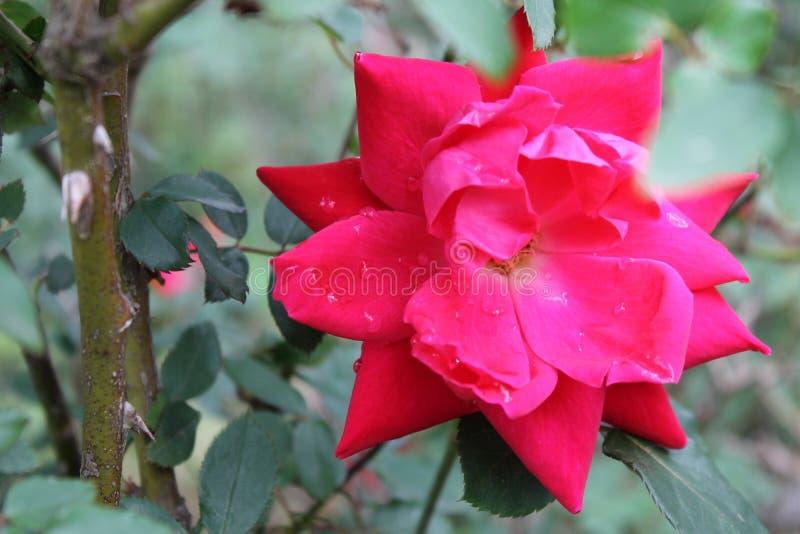 Beauté d'une rose photographie stock libre de droits