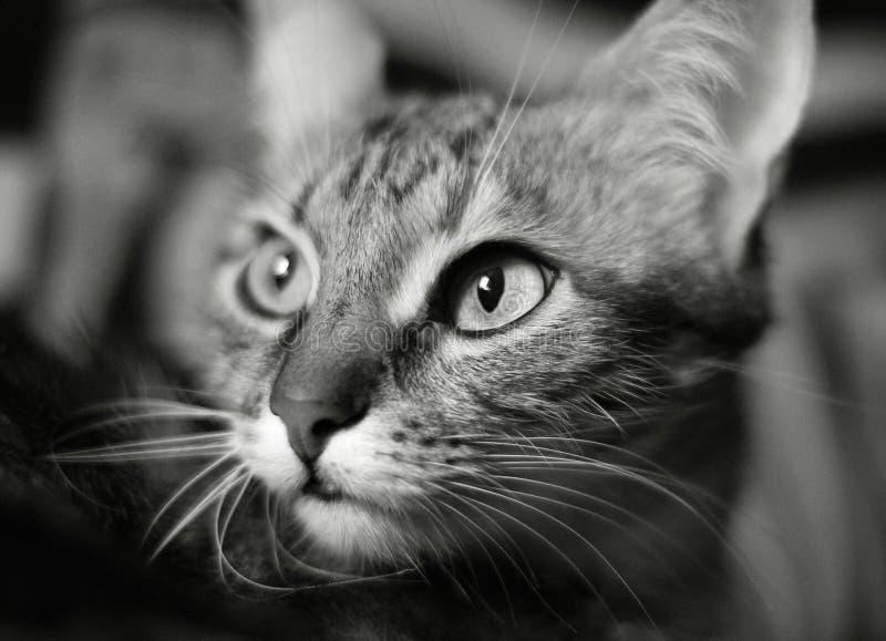 Beauté de chats images stock