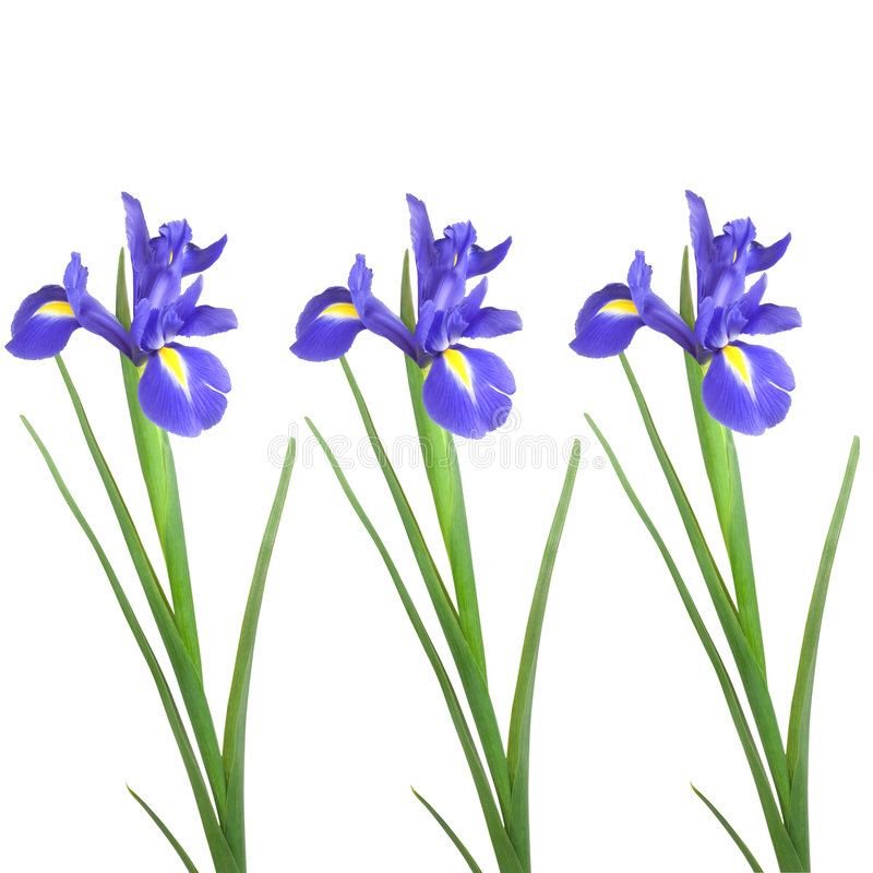 Beauté de fleur d'iris photo libre de droits