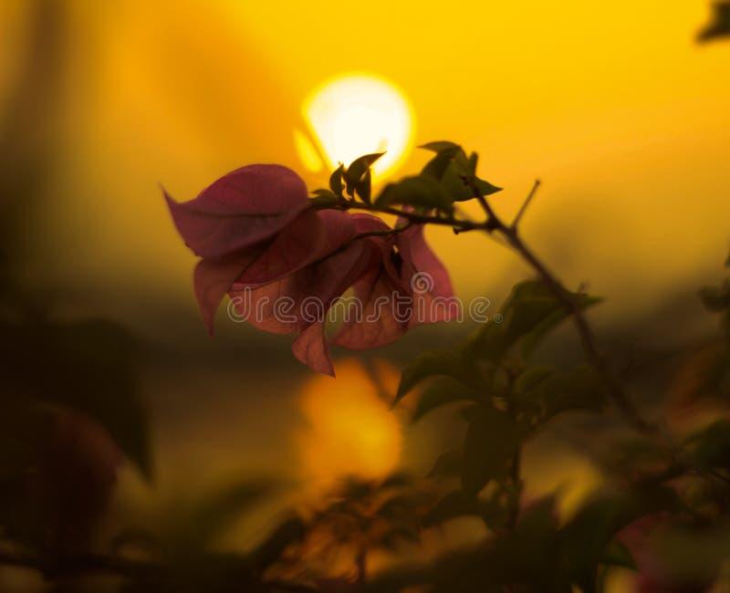 Beauté de fleur et de coucher du soleil en nature à la ville de la Thaïlande image stock