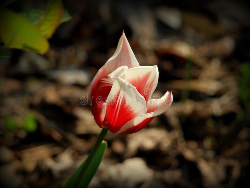 Beauté de la tulipe images stock