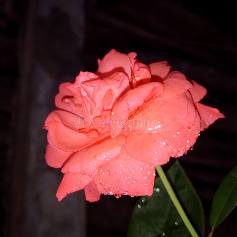 Beauté de Rose Flower des baisses de l'eau photos stock