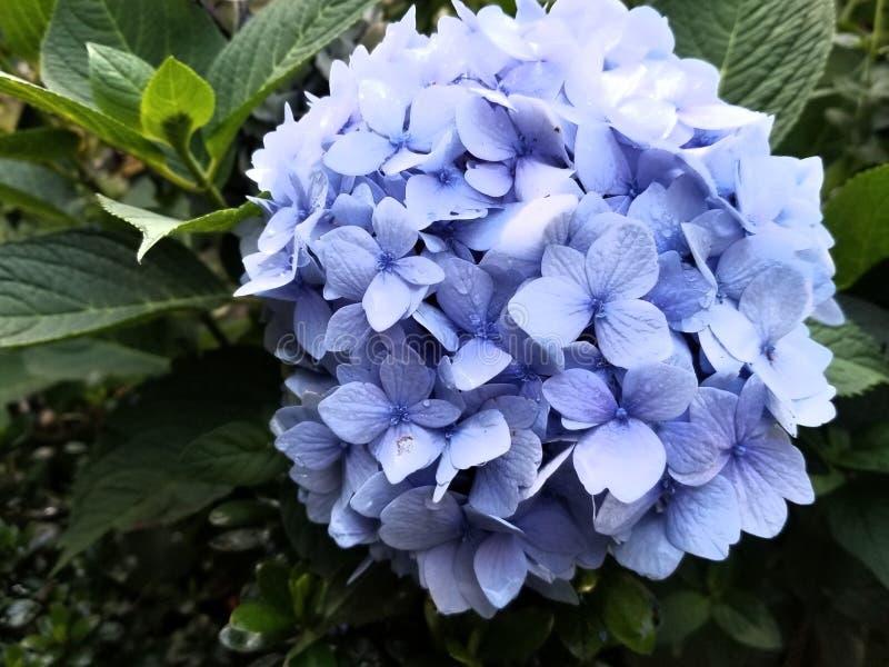Beauté de violette d'hortensia photos libres de droits