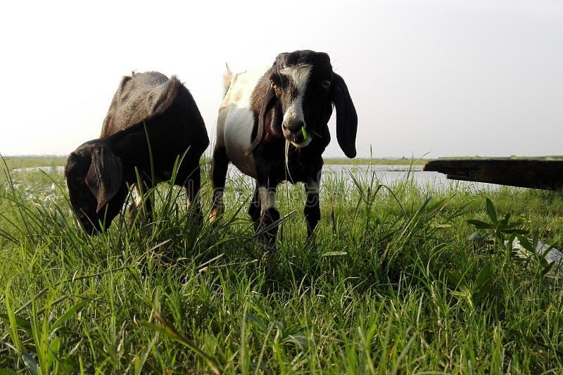 Beauté des enfants de chèvres photos stock