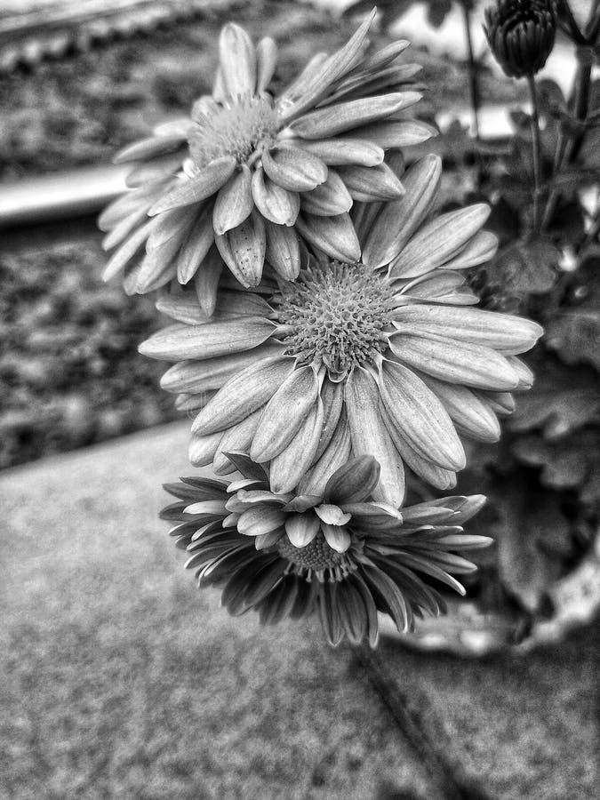 Beauté en noir et blanc image libre de droits