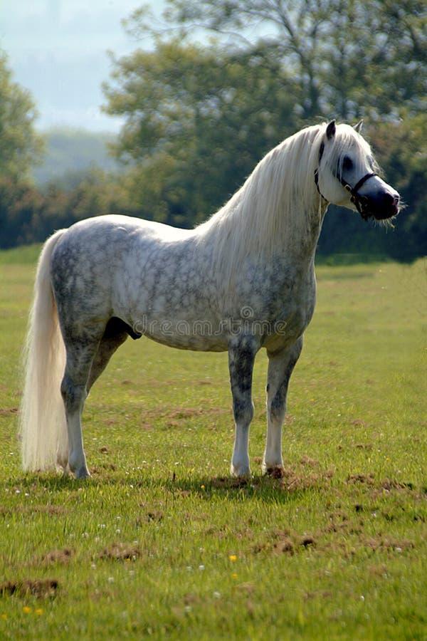 Beauté grise - cheval photos libres de droits