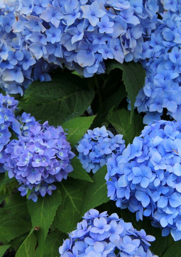 Beauté renversante d'hortensia bleu image stock