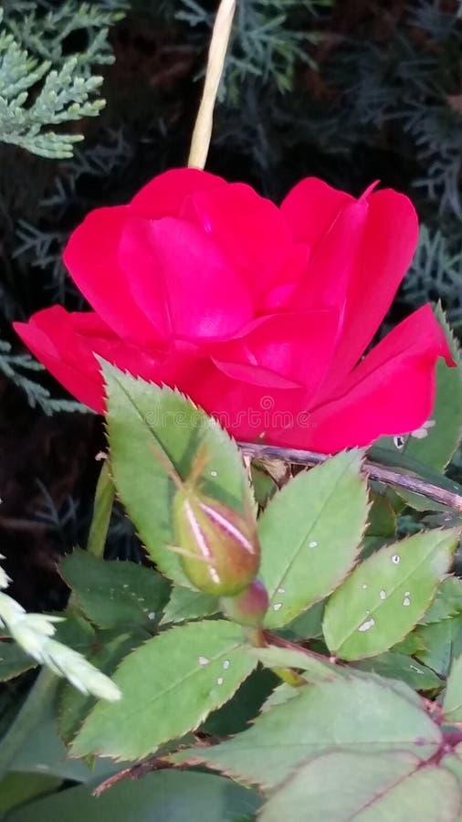 Beauté rose image stock