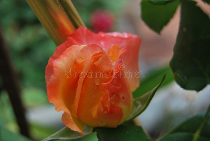 Beauté Rose de Parkinson's images stock