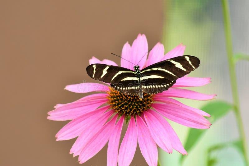 Beauté rose renversante de papillon de fleur images libres de droits