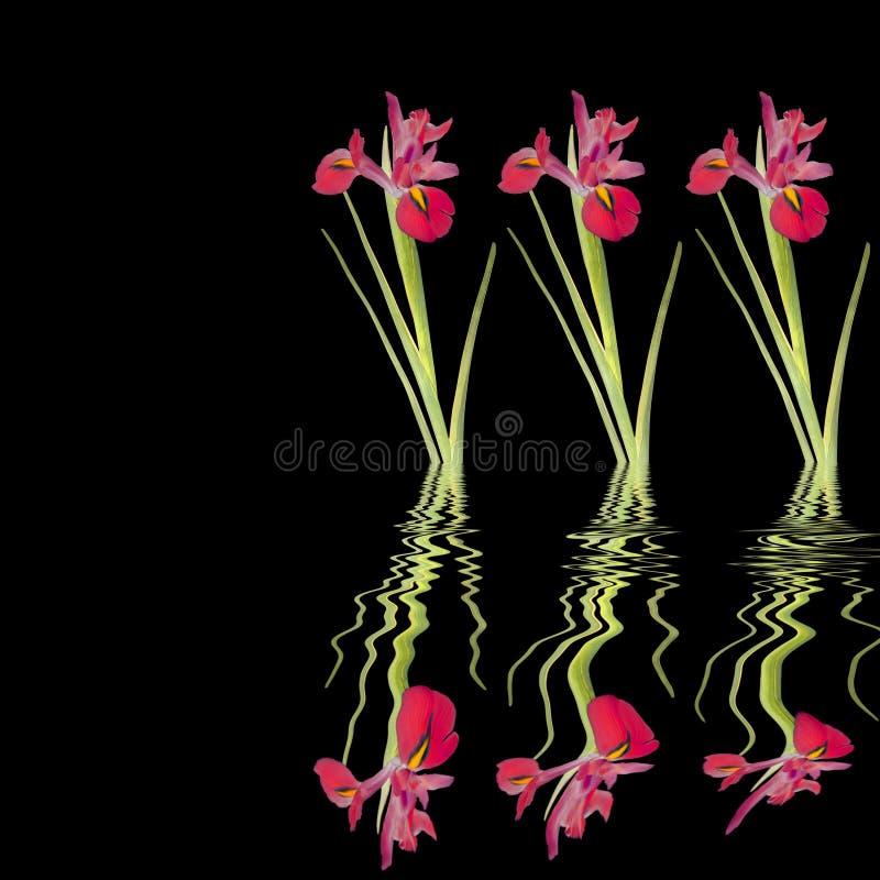 Beauté rouge d'iris illustration libre de droits