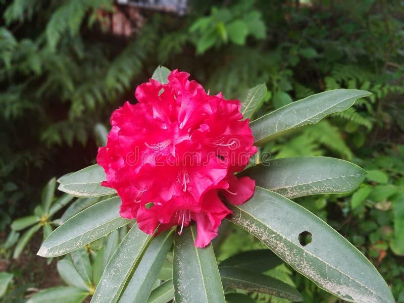 Beauté rouge de printemps de Rhodedrons image stock