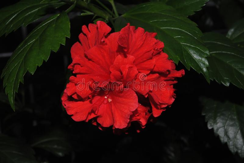 Beauté rouge de Rose image stock