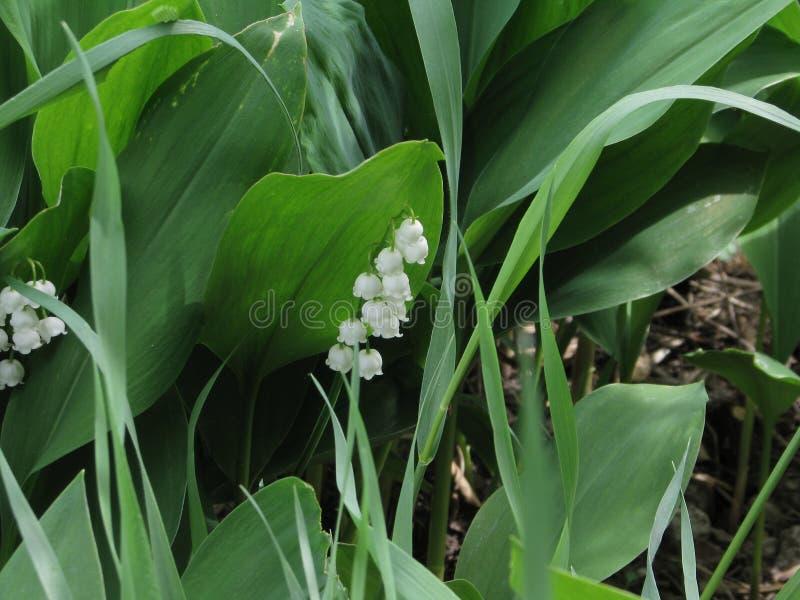 Beauté stupéfiante de cette fleur - le muguet photographie stock libre de droits