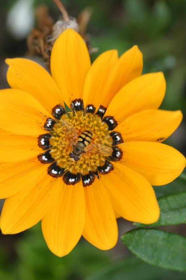 Beautés jaunes images stock