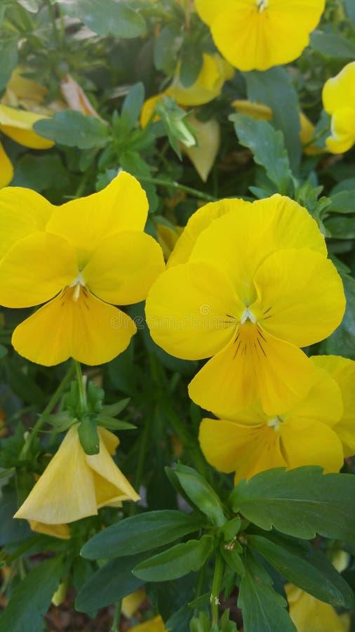 Beautés jaunes photo libre de droits