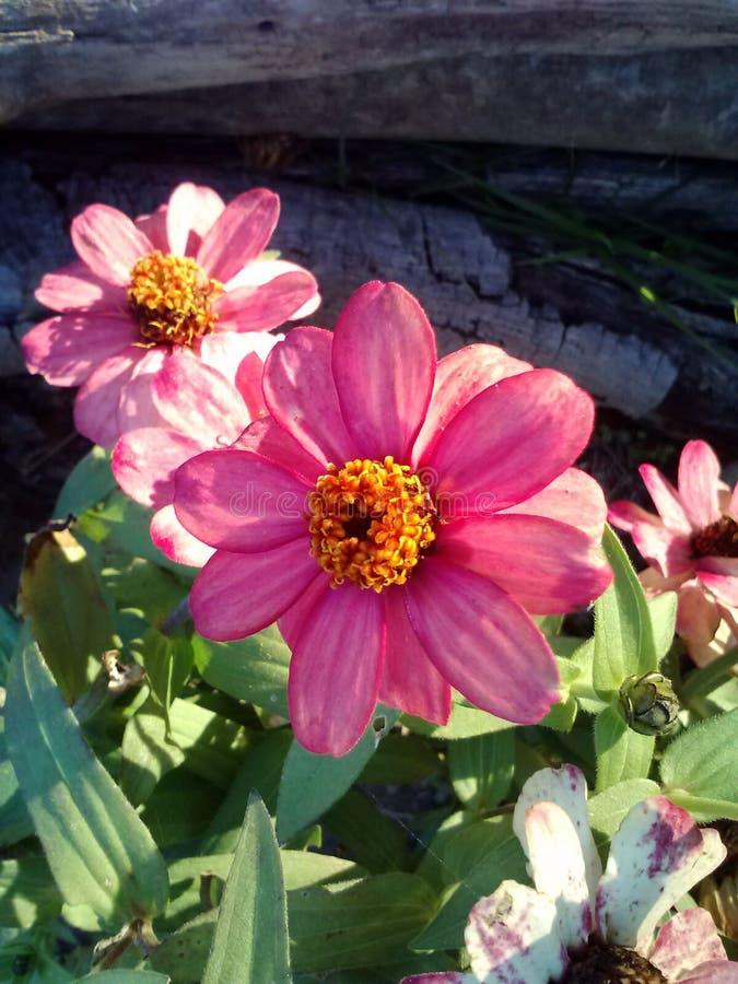 beautés roses image stock