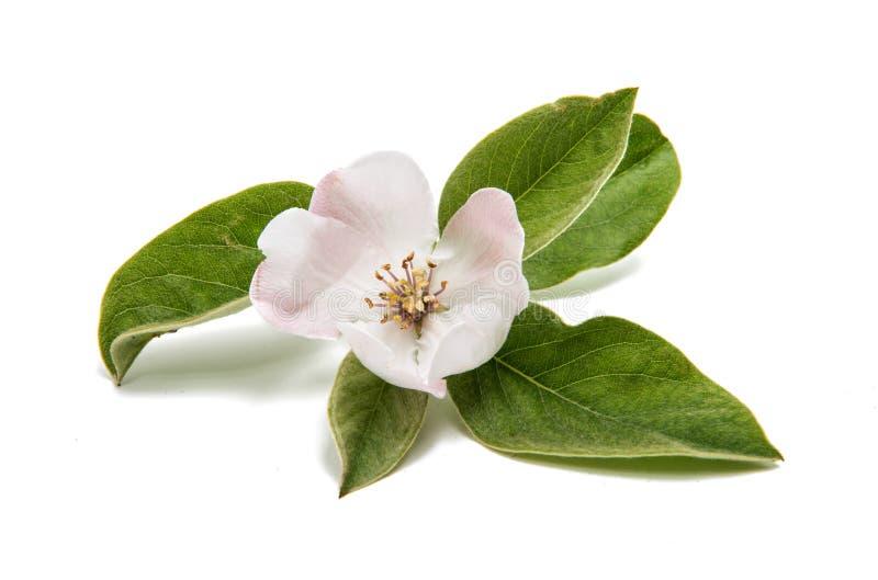 Beauteous blomma för kvitten arkivbilder