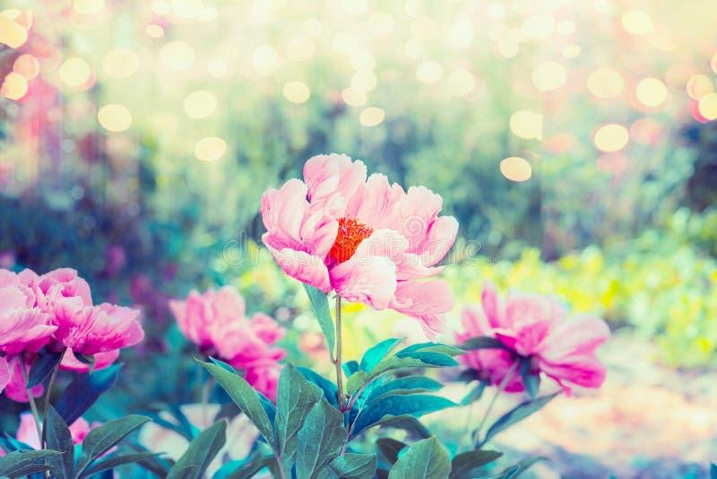 Beauteous blommaträdgård med rosa pionblommor, gräsplaner och bokehbelysning, utomhus- blom- natur för sommar royaltyfri foto