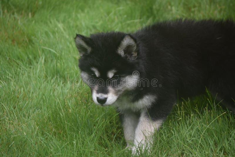 Beautful dziecka alaski husky bawić się w trawie obrazy stock