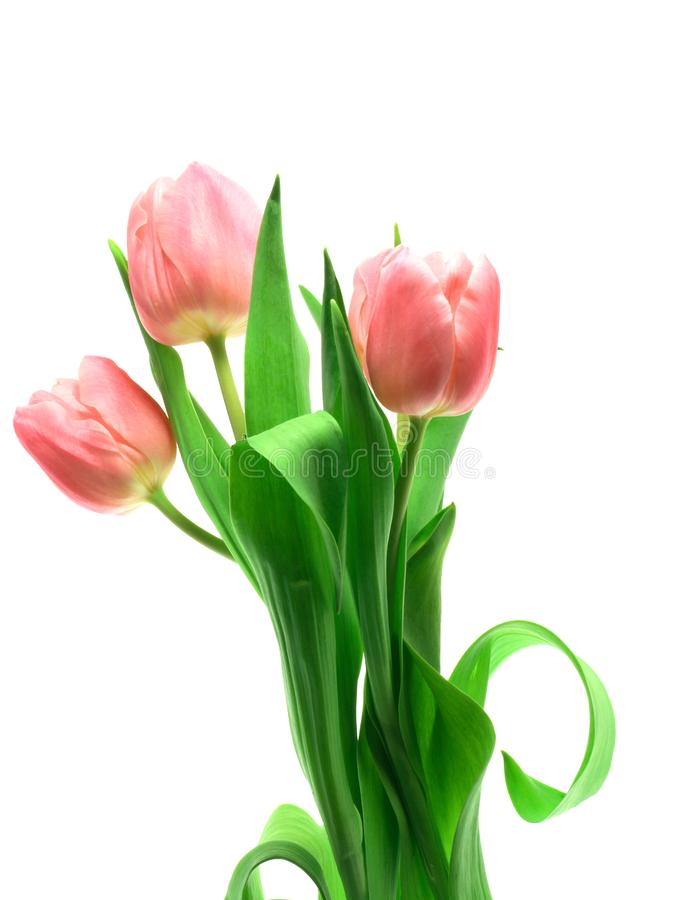 Beautful tulips on a white royalty free stock photo