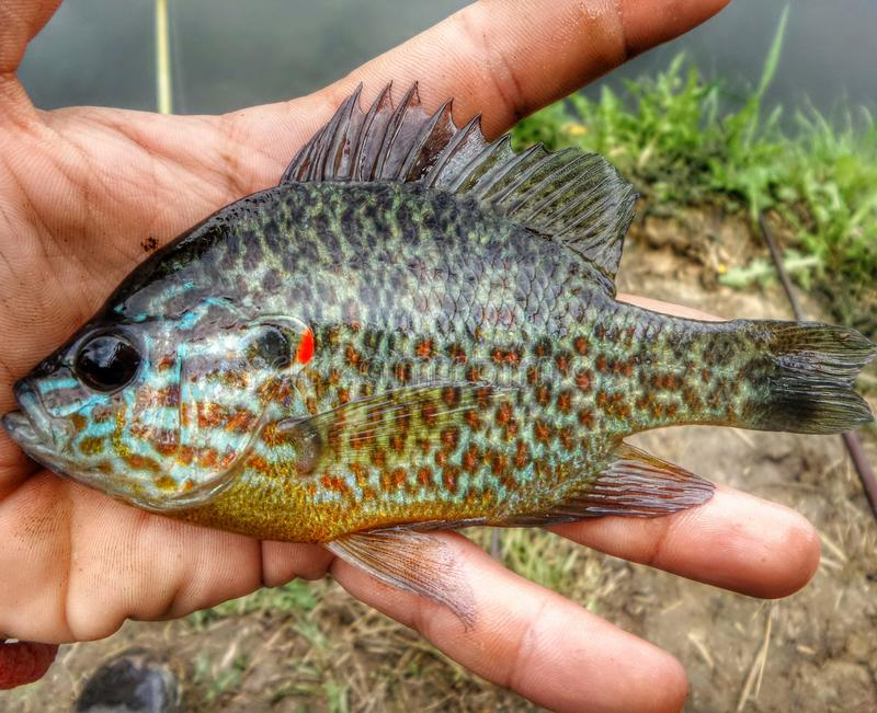 Beautifle ryba zdjęcie stock