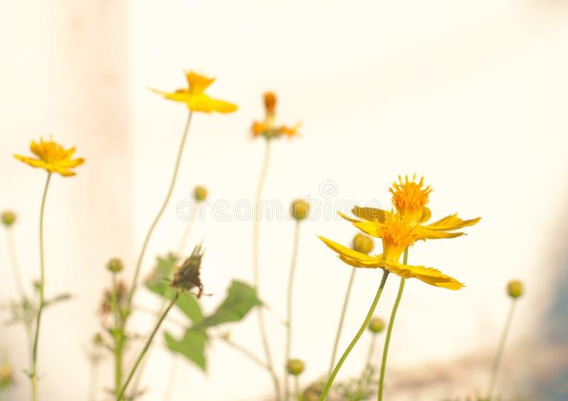 Beautifu colorido dulce de la sol del brillo de la planta de la floración de la flor del cosmos imagenes de archivo