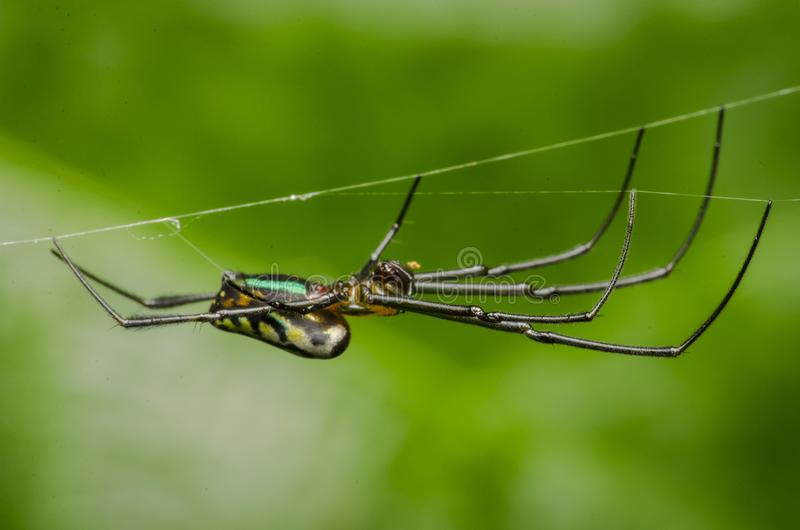 Beautiful insect killer spider in malaysia royalty free stock images